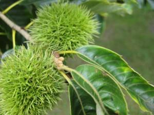 chestnut trees for deer